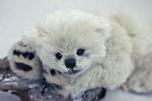Polar13opy